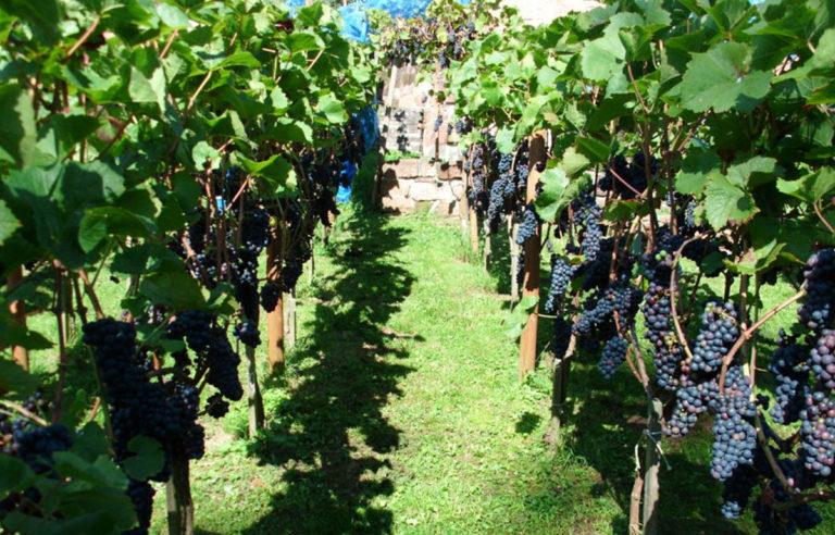 Weinberg mit blauen Trauben